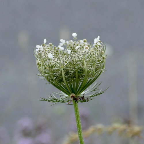 Wild Carrot 'nest' | by Englepip