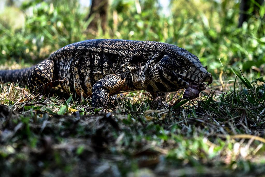 Iguana Overa (Tupinambis Merianae)