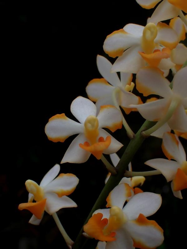 Les Orchidées chez Cloo en 2020 - Page 20 50141987506_d9703445c4_o
