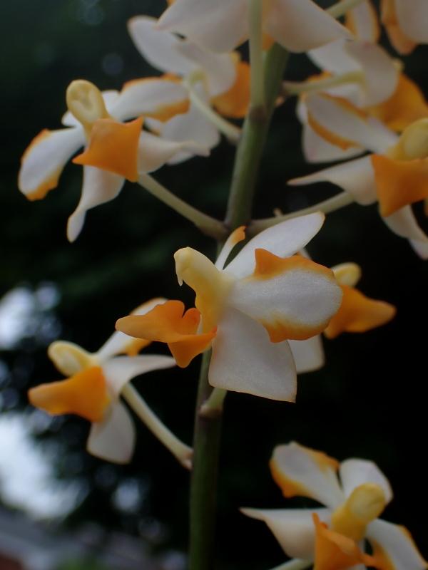 Les Orchidées chez Cloo en 2020 - Page 20 50141987541_28c593f09b_o