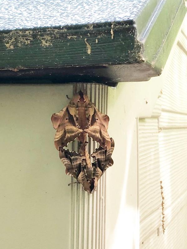 mating blind sphinx moths