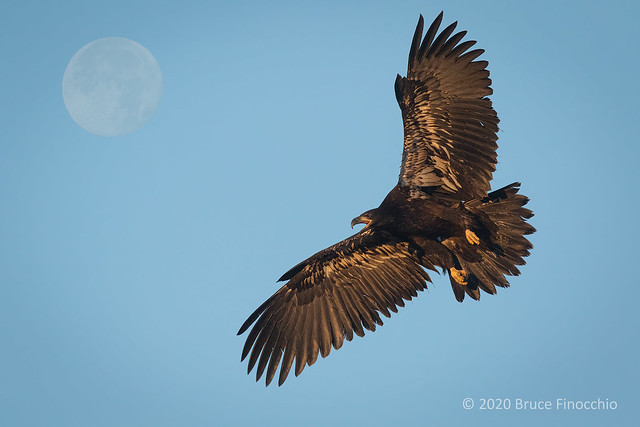 A Flying Juvenile Bald Eagle Flies Under A Nearly Full Moon
