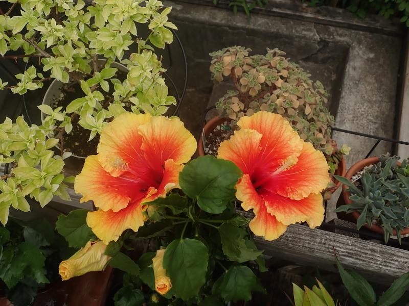 Pots et jardinières 2020 - Page 3 50142227002_1124a1266e_o