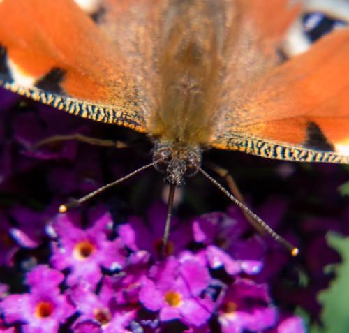Garden butterflies: peacocks feeding and sunning