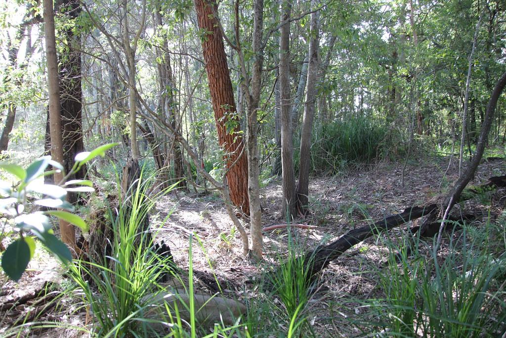 Swamp Mahogany (Eucalyptus robusta) - centre