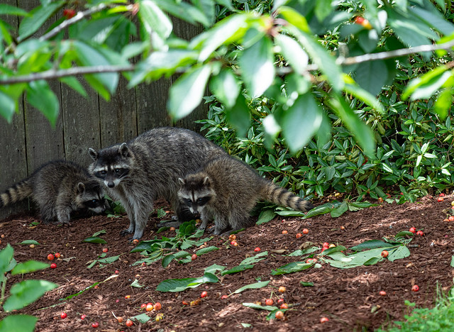 Mom Raccoon and her babies eating cherries