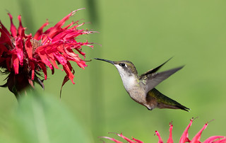Ruby-throated Hummingbird at bee balm | by Laura Erickson