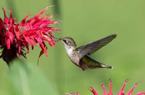 Ruby-throated Hummingbird at bee balm