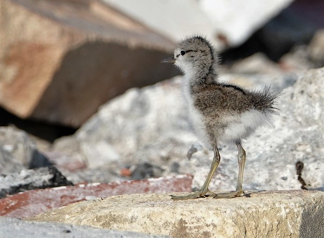 Young Spotted Sandpiper surveys his new home, Tommy Thompson Park, Toronto.