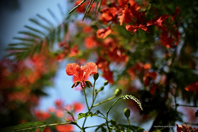 Flam-boyant, Royal Poinciana.