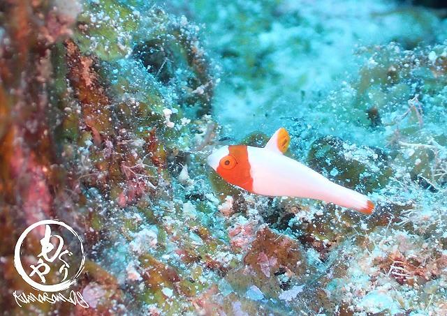 イロブダイ幼魚ちゃんは今日ものんきに泳いでました♡