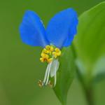 Asiatic dayflower (Commelina communis, ツユクサ, 露草)