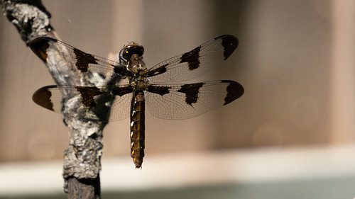 Dragonfly Wings | by akervand