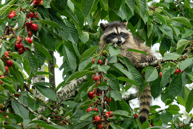 Baby raccoon on cherry tree