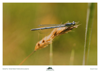 Western Forktail (Ischnura perparva) | by Richard R. Powell