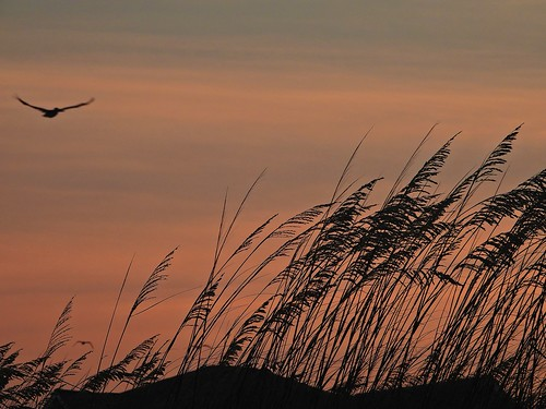 sunset dunes sand sanddunes oceanislebeach nc northcarolina orange silhouette seaoats inthewild flyby pelican bird evening coast coastal p1000 coolpixp1000 nikoncoolpixp1000 jennypansing