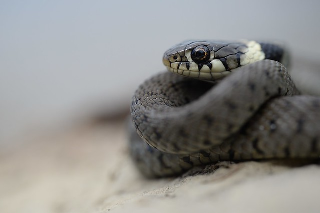 Young Barred Grass Snake (Natrix helvetica) 1 of 3