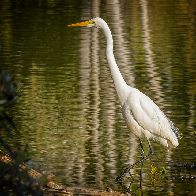 creatures of the mangroves - eastern great egret