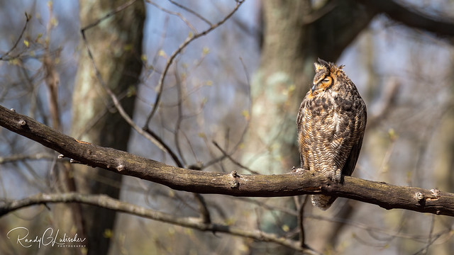 Great Horned Owl - Bubo virginianus | 2020 - 17