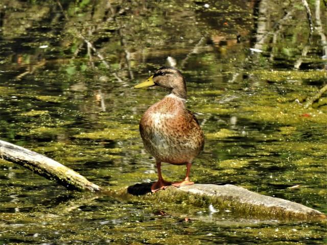 Duck in the green  DSCN5209