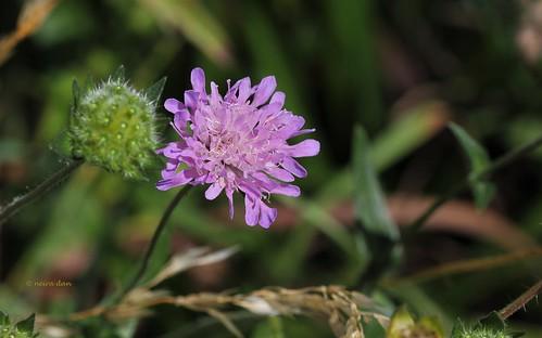 Knautia arvernensis - knautie d'Auvergne  50143847763_b1f6801c9b