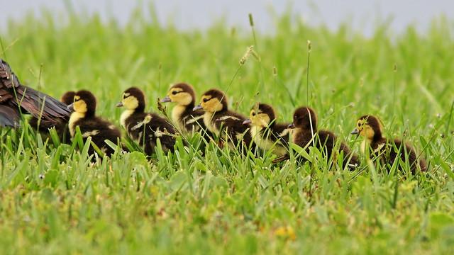 Muscovy3 ducklings8 20200722