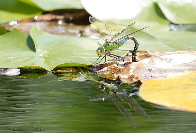 Dragonfly reflecting
