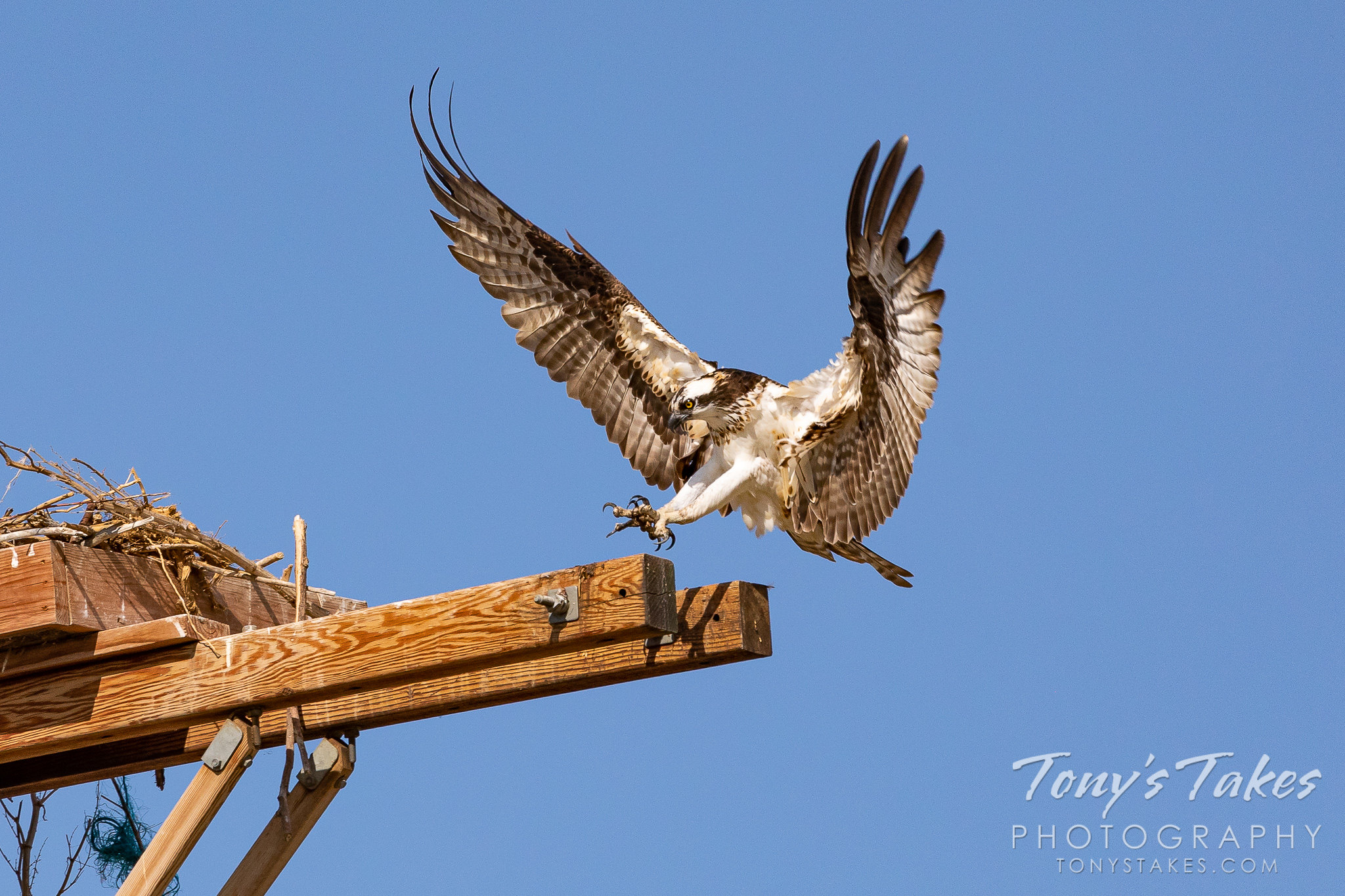 Osprey returns home