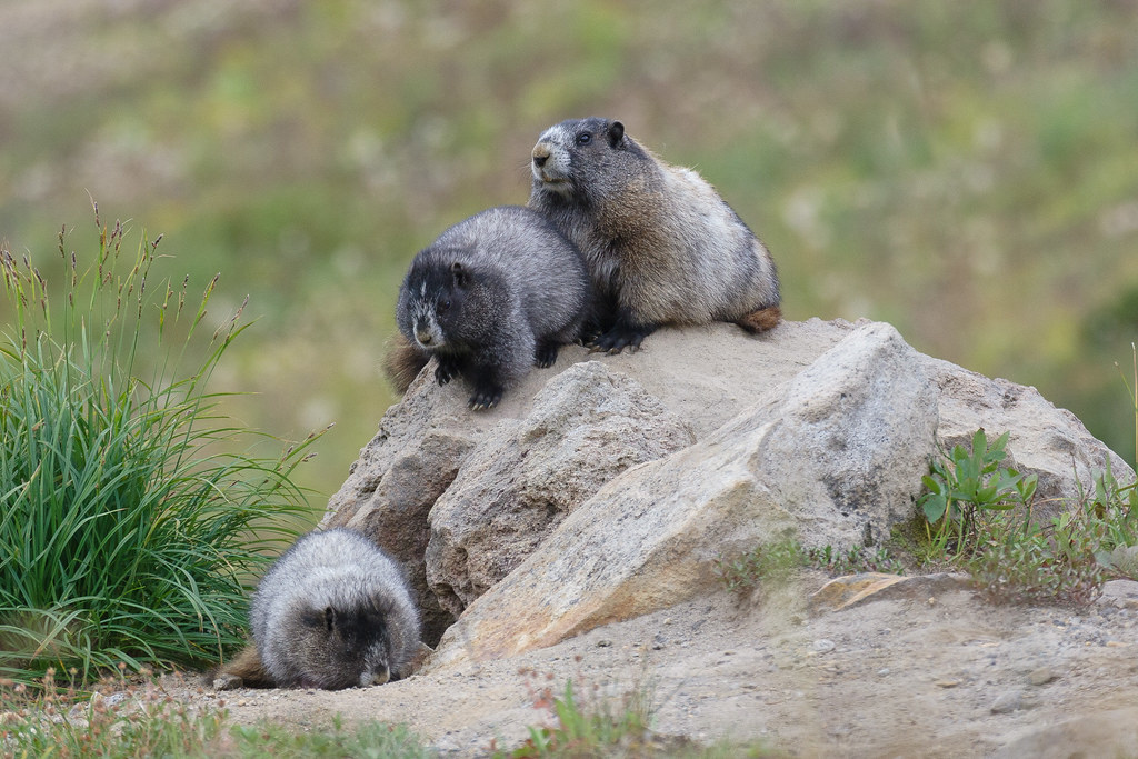 Two young marmots play on a boulder in a mountain meadow as one of the adults looks on, taken on the Skyline Trail in Mount Rainier National Park in September 2009