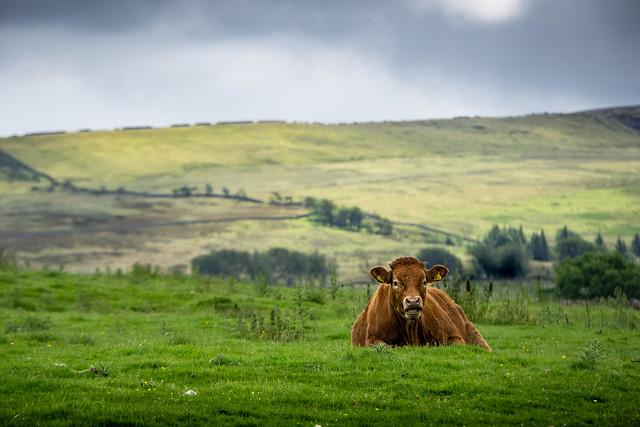 Cow 500597. Between Garrigill and Ashgill. Cumbria. 21/07/2020.