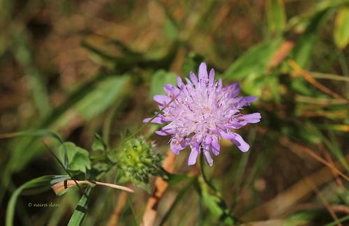 Knautia arvernensis - knautie d'Auvergne  50144391871_3a0b220cef