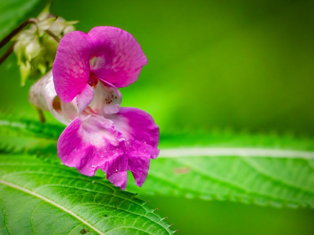 """""""Orchidée sauvage"""" de la forêt rhénane... : la balsamine. 50144422203_0d5cbea0d5_b"""