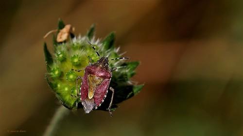 Knautia arvernensis - knautie d'Auvergne  50144426687_82bf470637