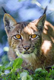 The female lynx looking at me