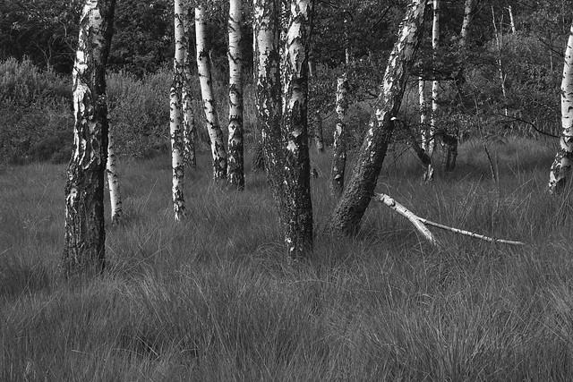 raakmoor birke i