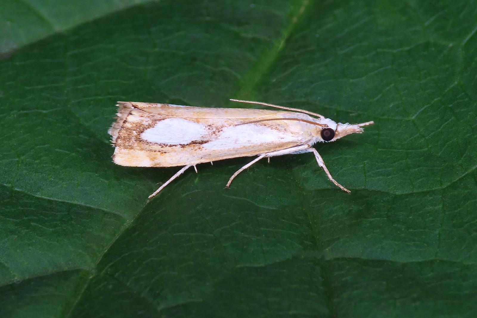 63.099 Pearl Grass-veneer - Catoptria pinella