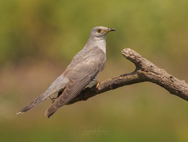 Cuckoo !!!