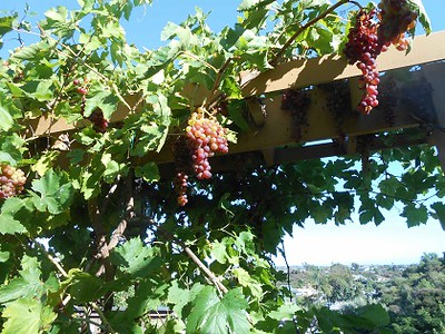 Several bunches of grapes hang from leafy vines along a high trellis. Behind them is a sunny blue sky that fades to misty white at the horizon, with some faraway houses among the trees in the middle distance.