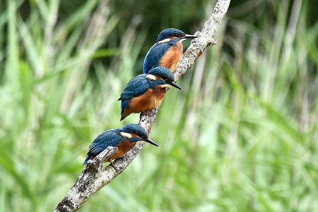 A trio of kingfishers