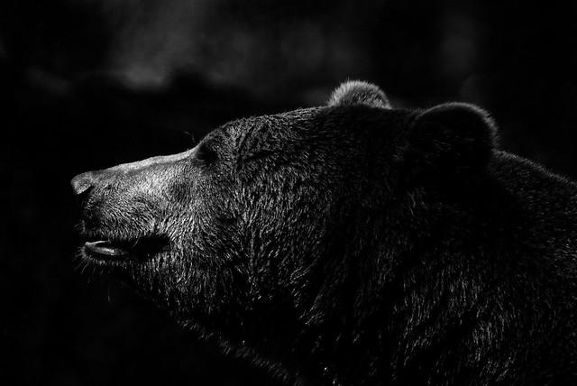 Brauner Bär in Schwarz und Weiß