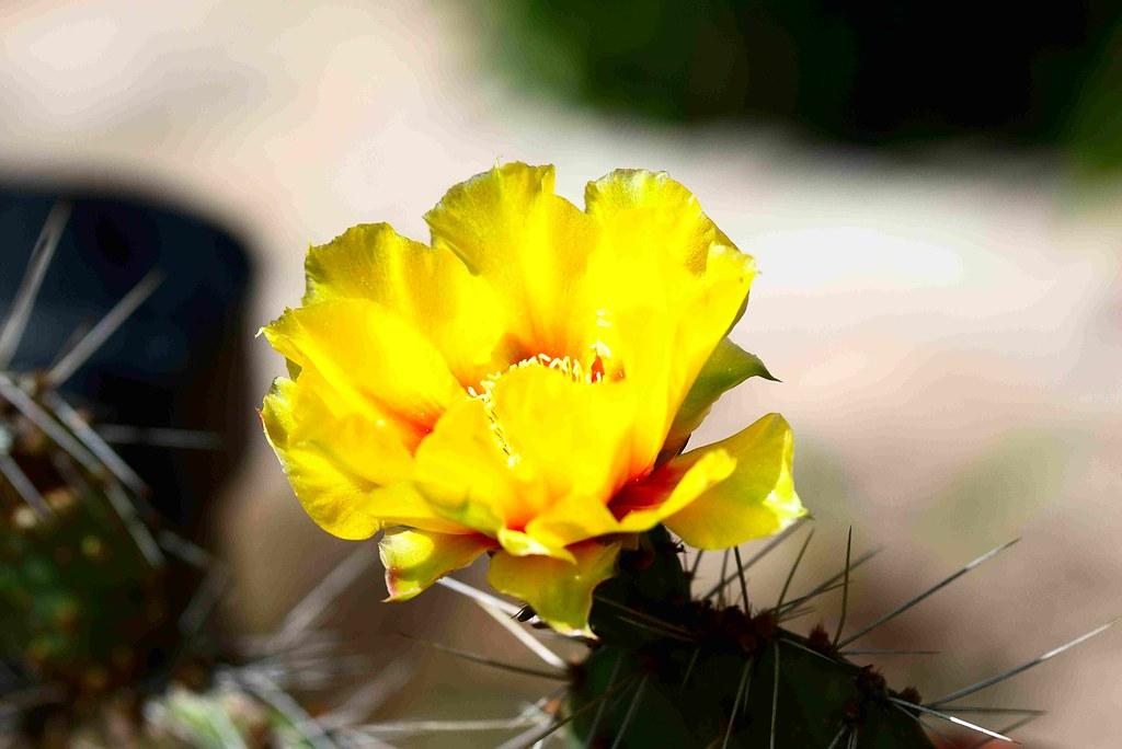 Frostharter Feigenkaktus (unbestimmt) im kleinen Topf. Blüte 1.