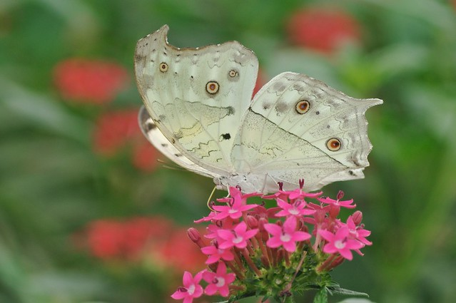 Forest Mother-of-Pearl Butterfly - Prortogniomorpha parhassus