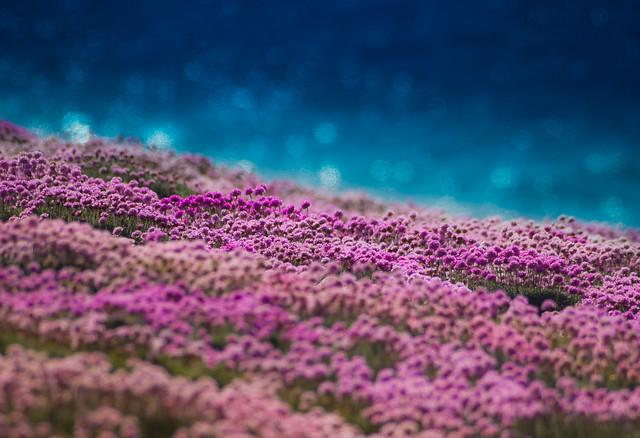 Pinks-on-Sea