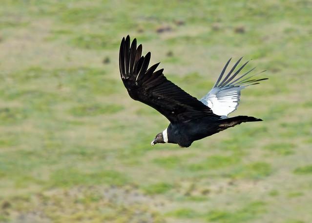 Andean Condor (Vultur gryphus) - 20100212-16