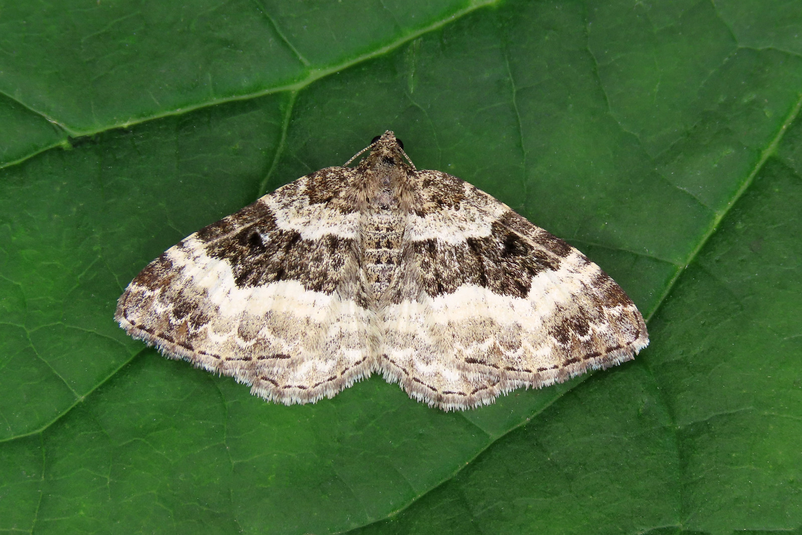 70.061 Common Carpet - Epirrhoe alternata