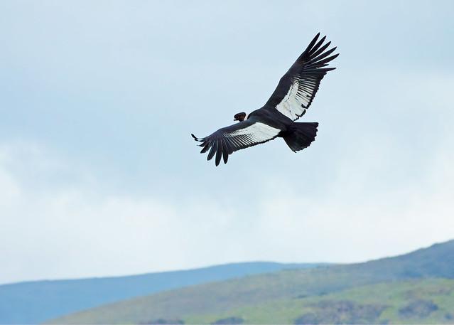 Andean Condor (Vultur gryphus) - 20100212-17