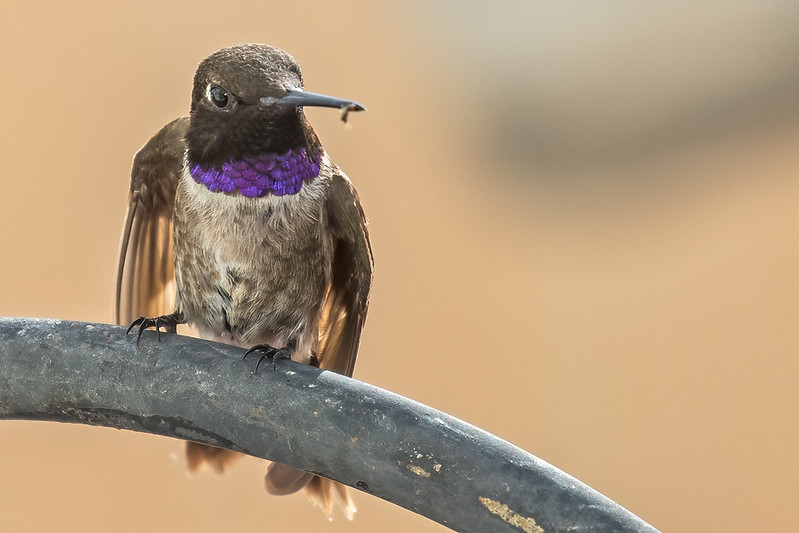 Black-chinned-Hummer-3-7D2-072220