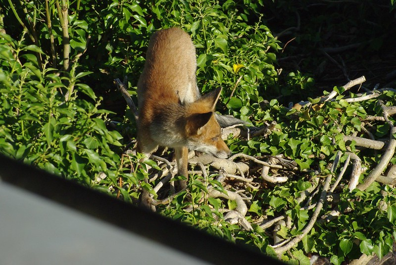 Young fox on shed roof