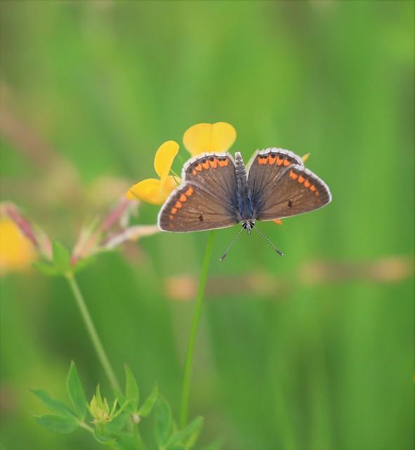 Aricia agestis / Brown Argus / bruin blauwtje