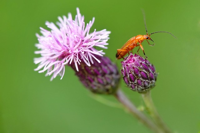 Soldier beetle on thistle!